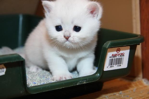 Как приучить котенка к туалету