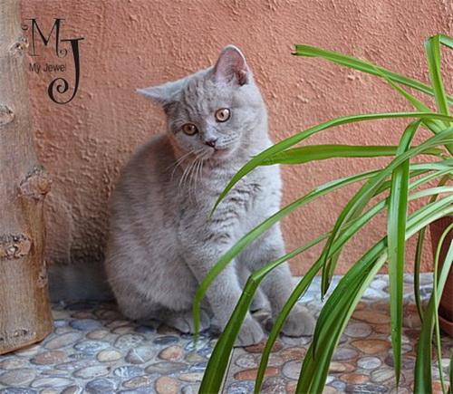 brit-cat-foto-7