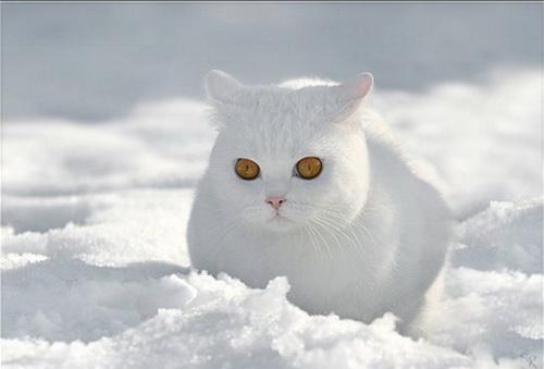 британские котята белого окраса