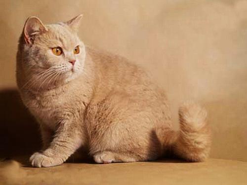 британские котята кремового окраса
