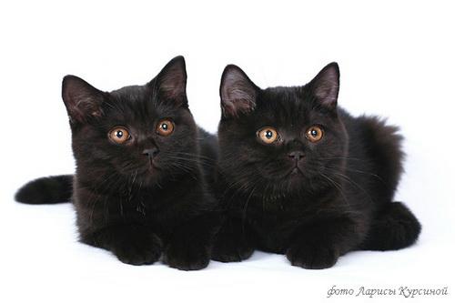 черные британские кошки