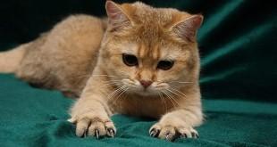 Как подстричь кошке когти