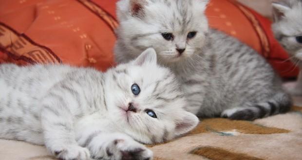 Какие прививки делают котятам разных пород