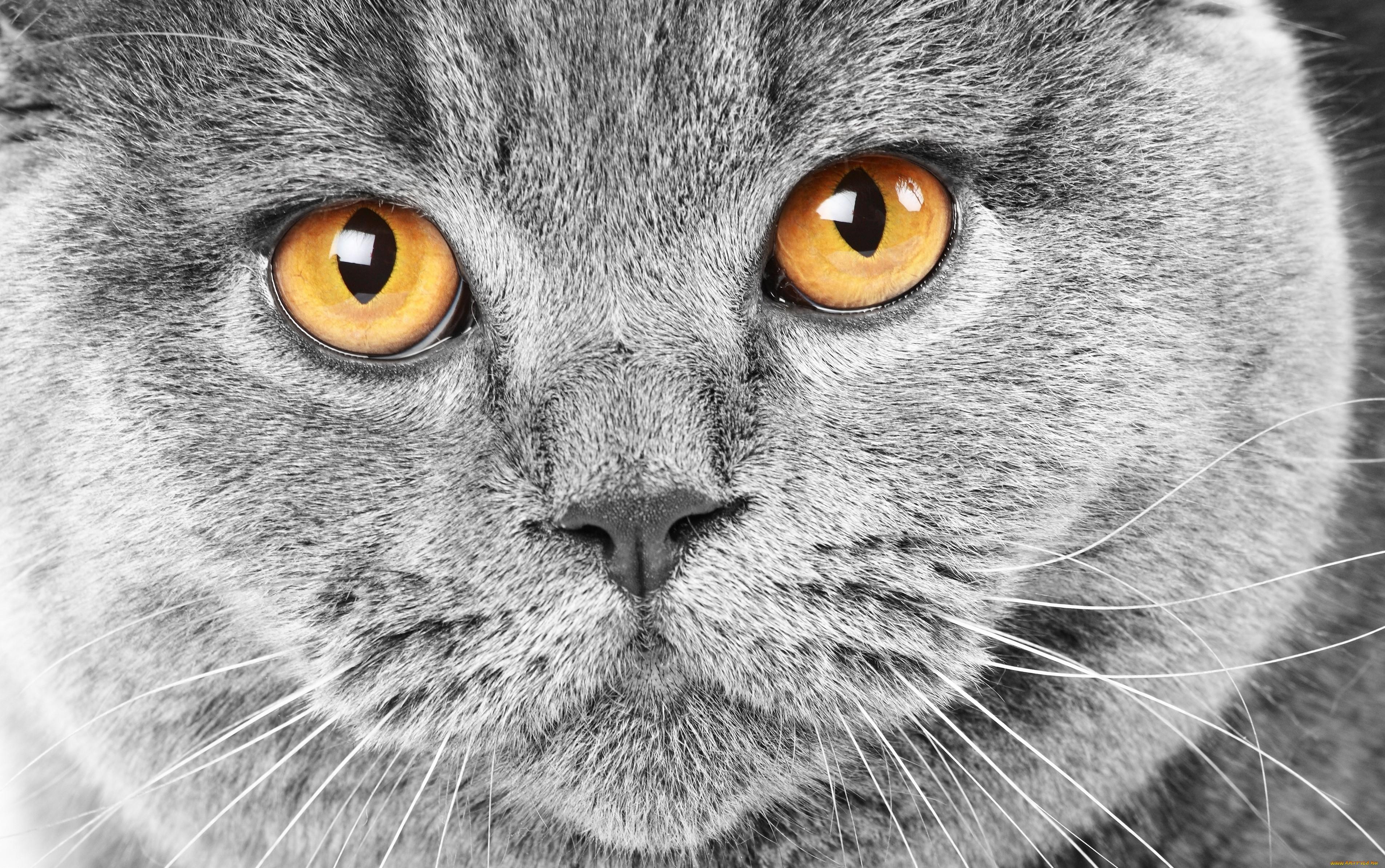 Привычки британских кошек