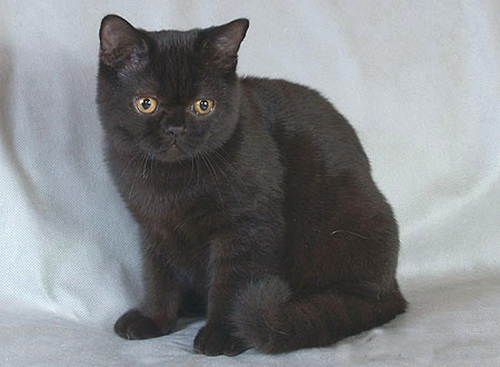 черные британские котята