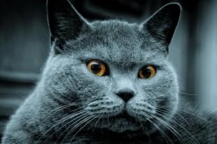 Основы воспитания британских кошек (часть-1)