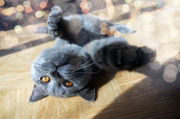 Основы воспитания британских кошек (часть-2)