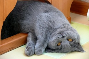 Вес британских кошек