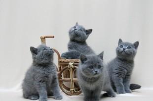Фото британских кошек1