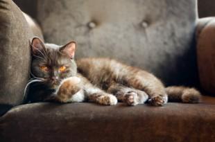 фото британские кошки