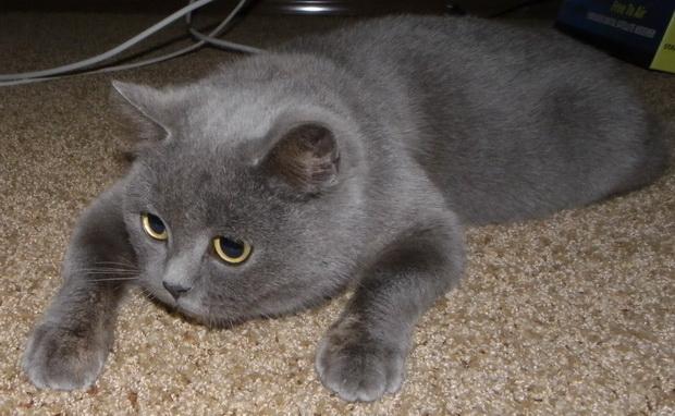 британская кошка голубая фото