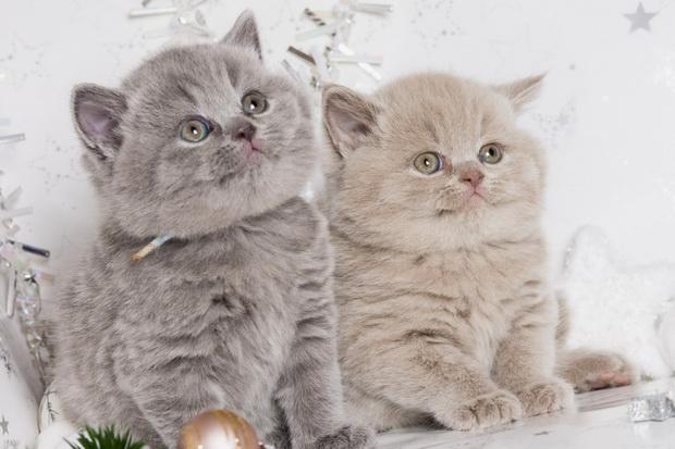фото британской кошки 2
