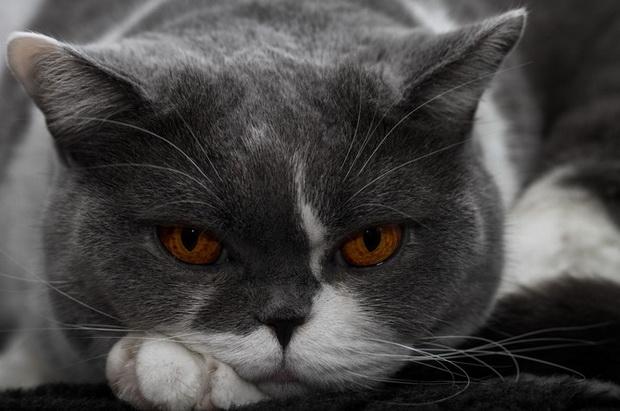 Натуральное питание кастрированного кота британца