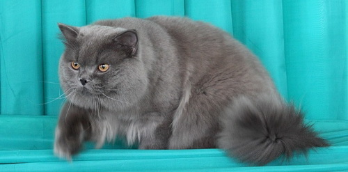 британская длинношерстная кошка длинношерстные британские котята