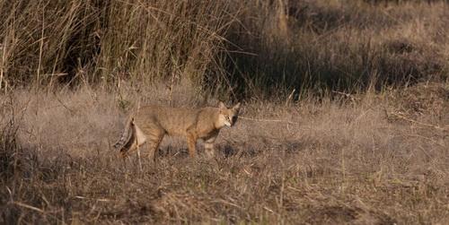 камышовый кот камышовый кот фото Jungle Cat Felis chaus