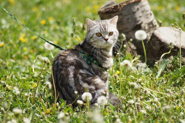 Приучаем британских кошек к шлейке и поводку