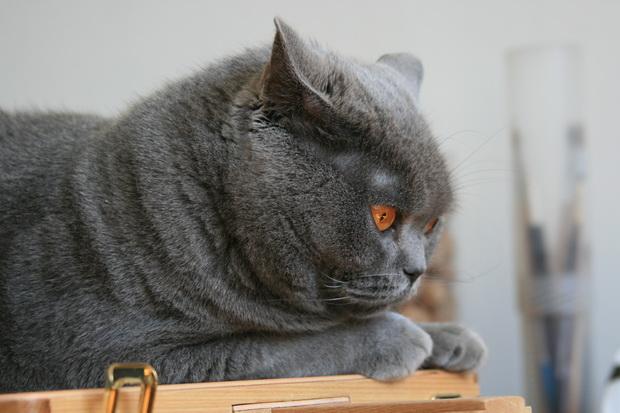Удаление когтей у кошек. Советы и рекомендации.