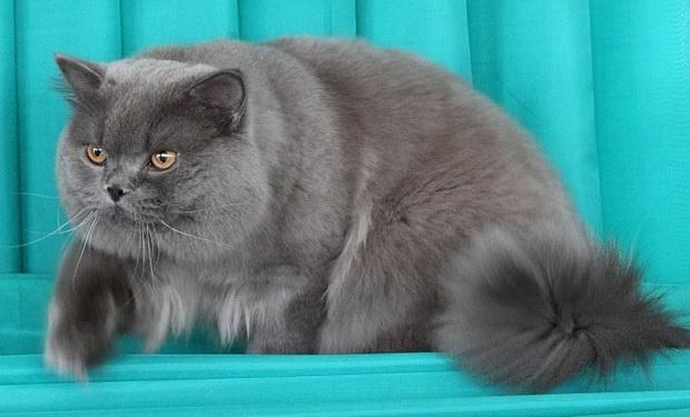 В каком возрасте можно сводить кошек британок thumbnail