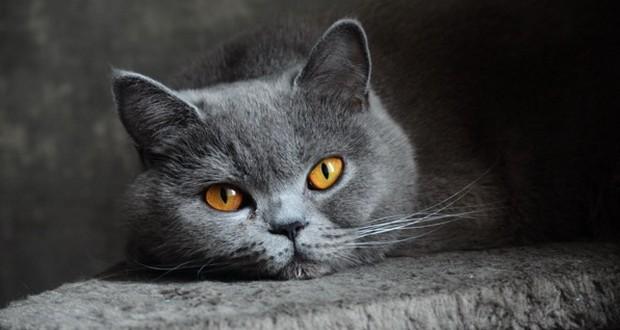 Чумка у кошек панлейкопения диагностика лечение и профилактика