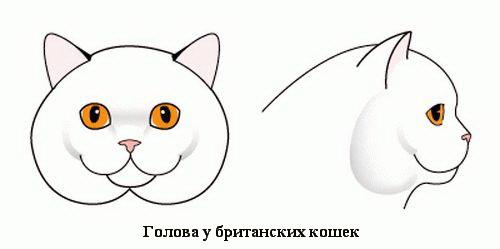 Голова у британской короткошерстной породы кошек
