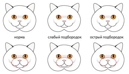 Подбородок у кошки британской породы
