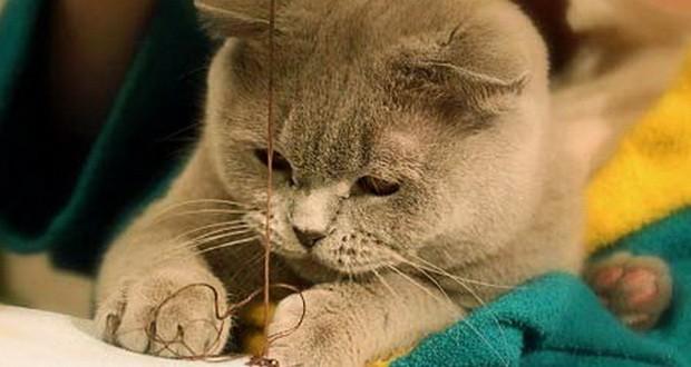 Британские кошки особенности породы