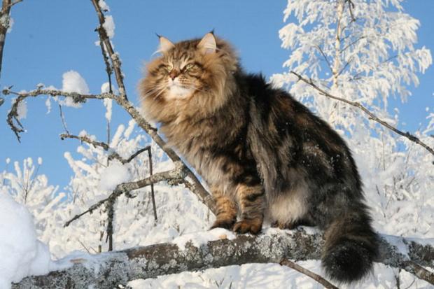 На фото: сибирский кот