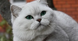 Серебристая шиншилла, серебристая шиншилла кошка