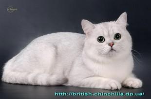британская шиншилла фото