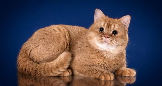 Генетика британских кошек