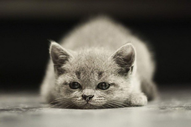 как определить пол котенка фото3