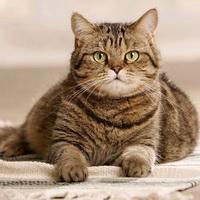 фото британских кошек