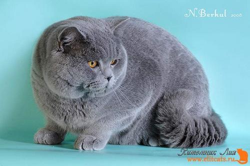 Британские кошки — это только кошки