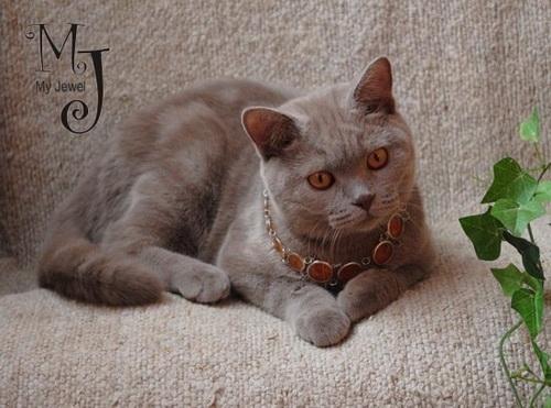 Лиловый окрас британских кошек