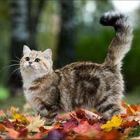 аллергия на британских кошек как проявляется