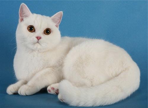 Британцы коты белого окраса