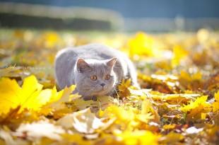 Уход за шерстью британских кошек