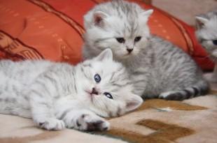 Какие прививки делают котятам