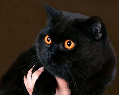 черный британский кот фото