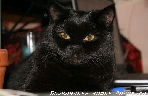 британские котята черного окраса