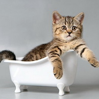 британские кошки фото