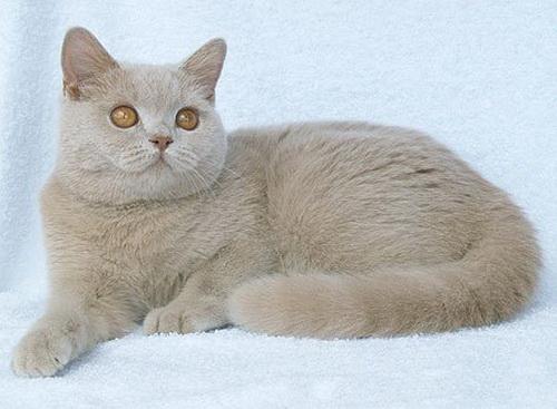 фавн кошки фото