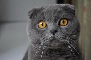 В чем различие между британскими и шотландскими кошками
