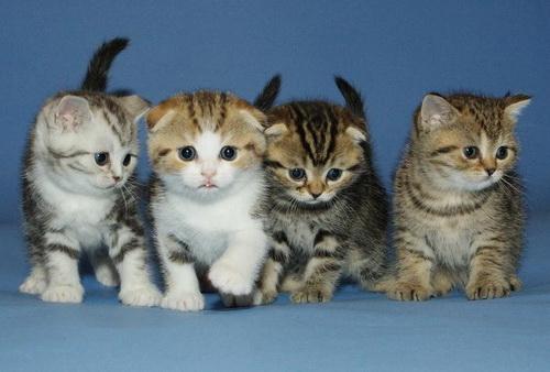 http://brit-cats.ru/wp-content/uploads/2011/05/%D1%82%D0%B8%D0%B3%D1%80%D0%BE%D0%B2%D1%8B%D0%B9-%D0%BC%D0%B0%D0%BA%D1%80%D0%B5%D0%BB%D1%8C-Bri-23.jpg