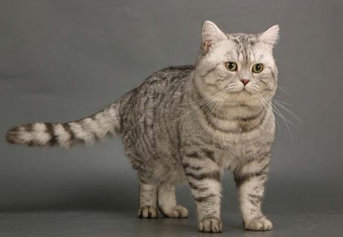http://brit-cats.ru/wp-content/uploads/2011/05/1%D1%82%D0%B8%D0%B3%D1%80%D0%BE%D0%B2%D1%8B%D0%B9-%D0%BC%D0%B0%D0%BA%D1%80%D0%B5%D0%BB%D1%8C-Bri-23.jpg