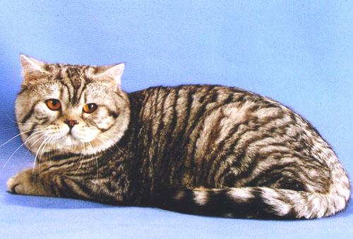 http://brit-cats.ru/wp-content/uploads/2011/05/3%D1%82%D0%B8%D0%B3%D1%80%D0%BE%D0%B2%D1%8B%D0%B9-%D0%BC%D0%B0%D0%BA%D1%80%D0%B5%D0%BB%D1%8C-Bri-23.jpg