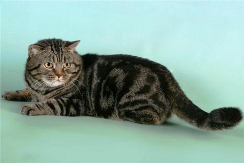 британские кошки мраморного окраса