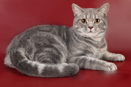британские кошки мраморного окраса окрас табби