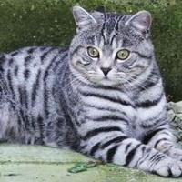 тигровый окрас британских кошек