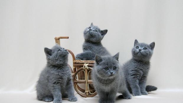 Как назвать кота британца мальчика серого